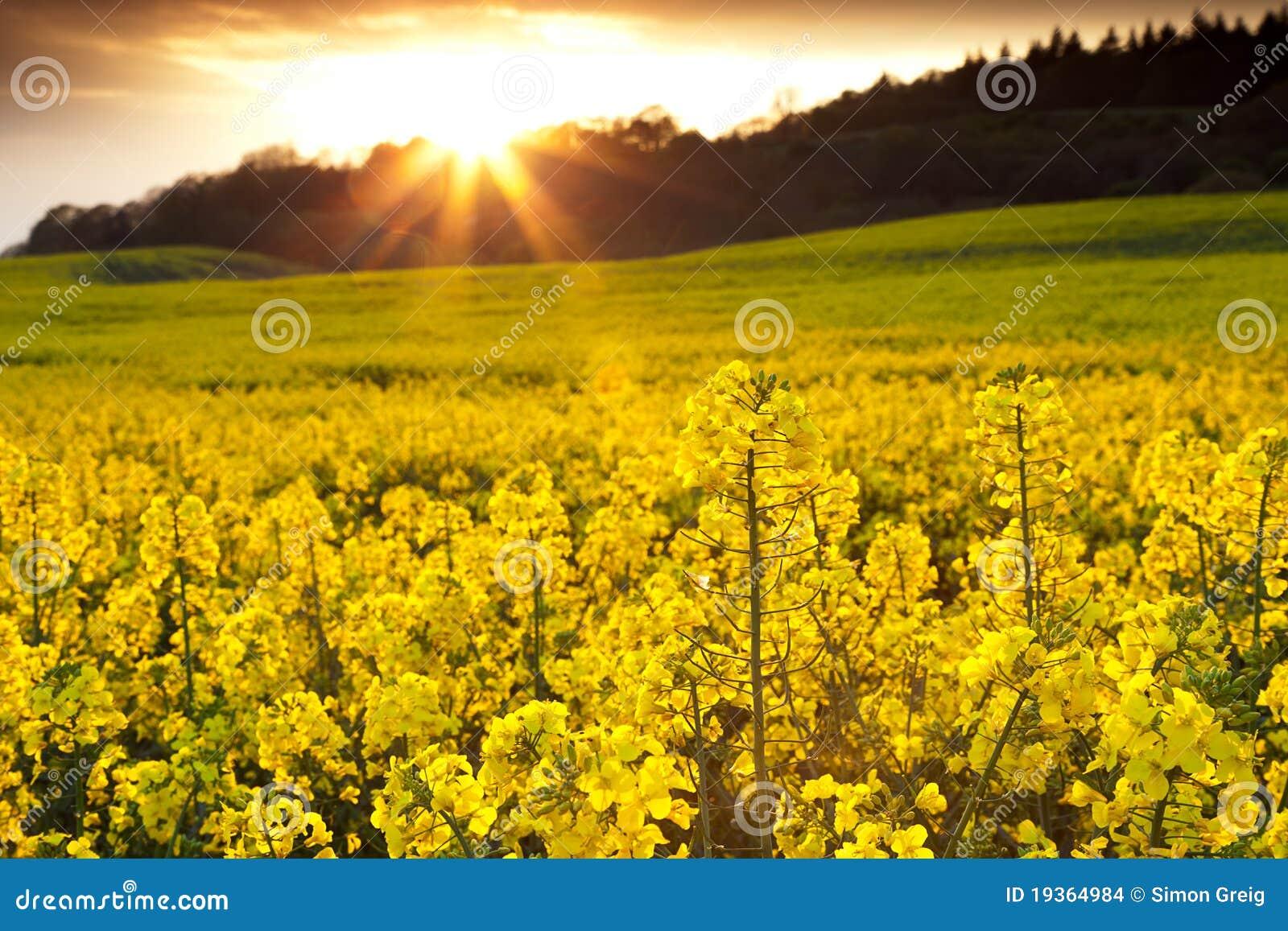 Campo do Rapeseed com Sunburst