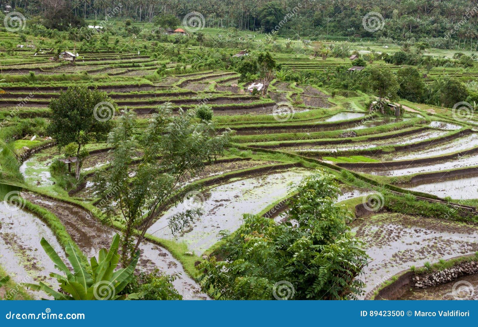 Campo do terraço do arroz, Ubud, Bali, Indonésia