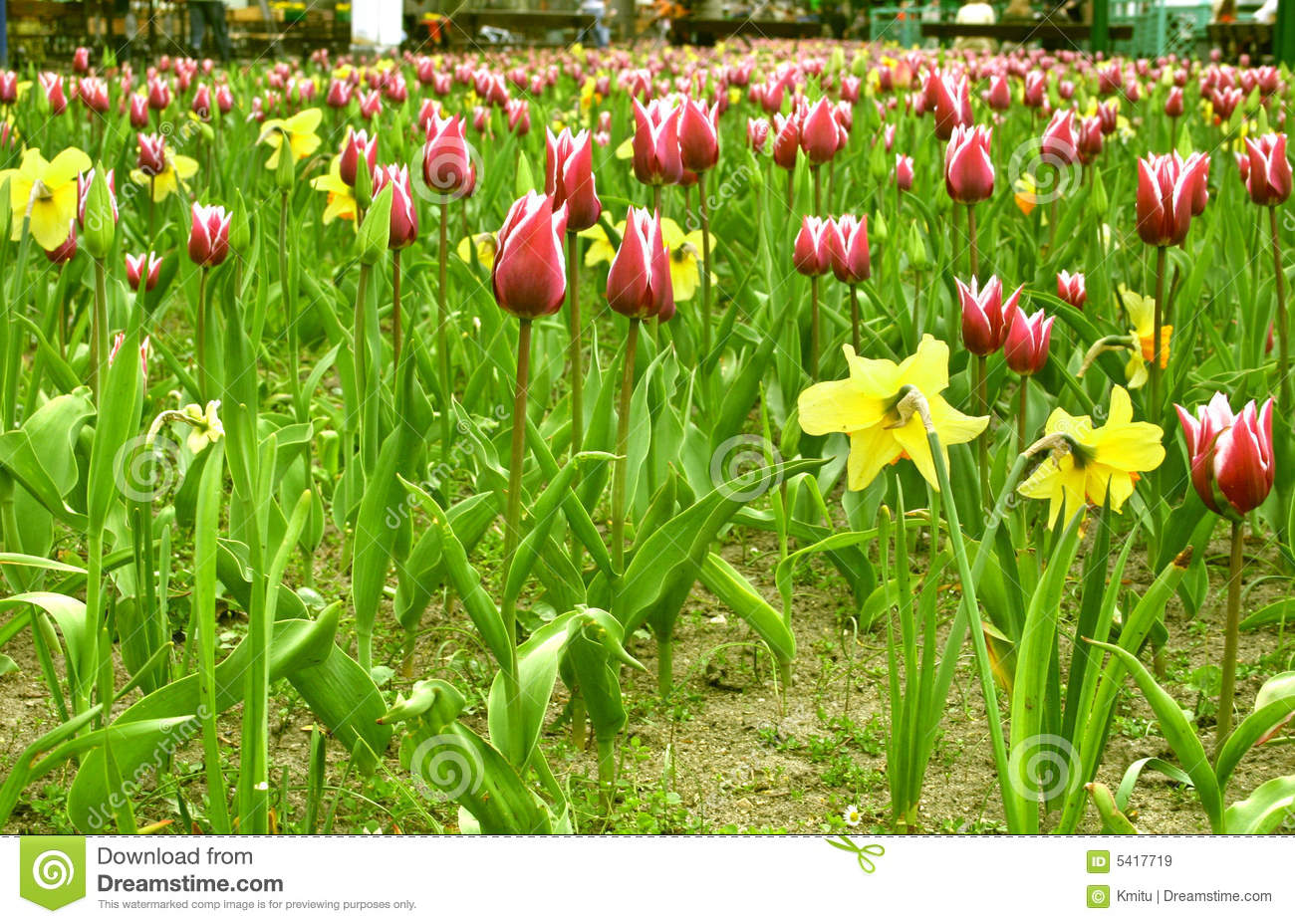 Campo do tulip-jonquil