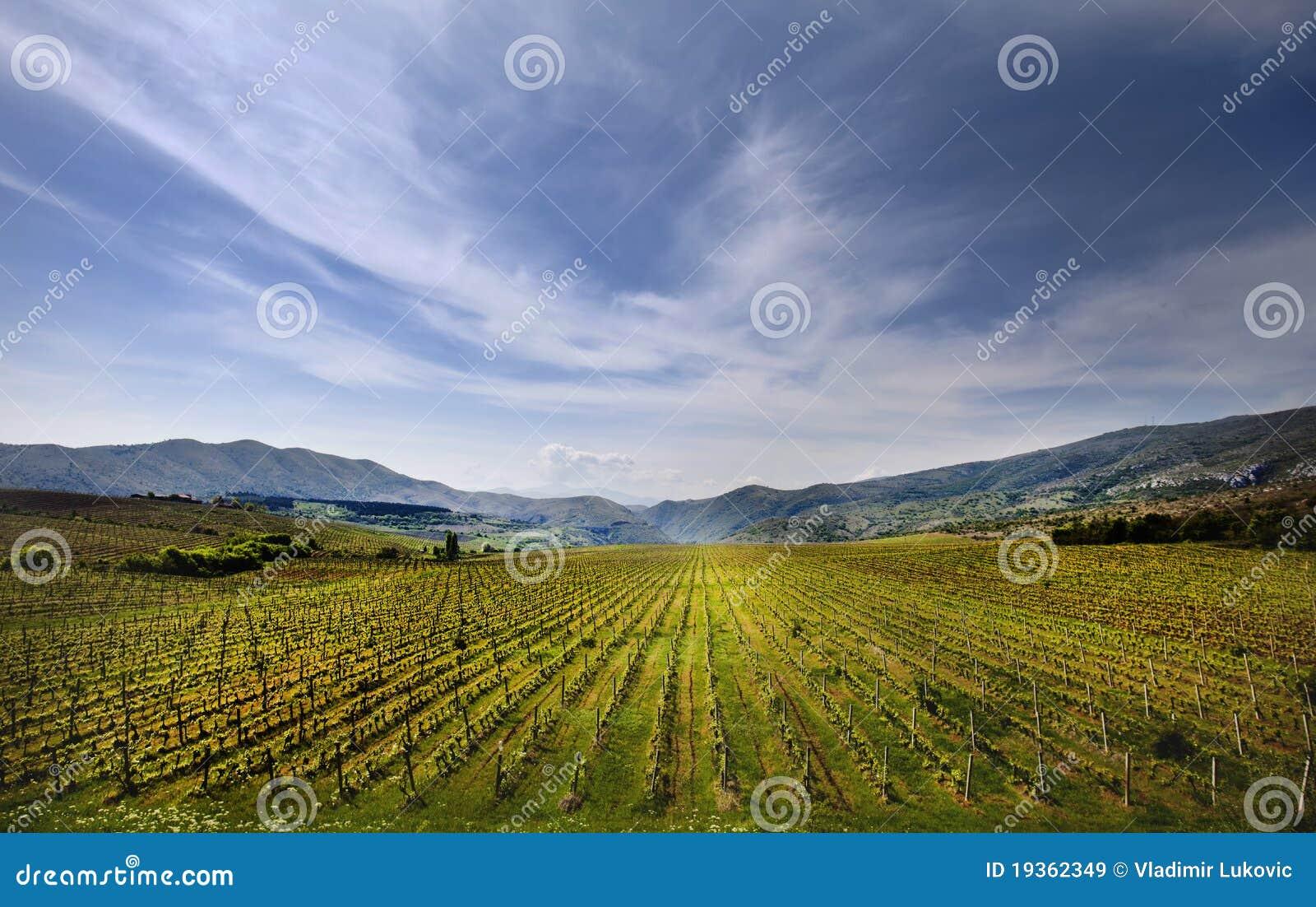 Campo do vinhedo em Macedónia