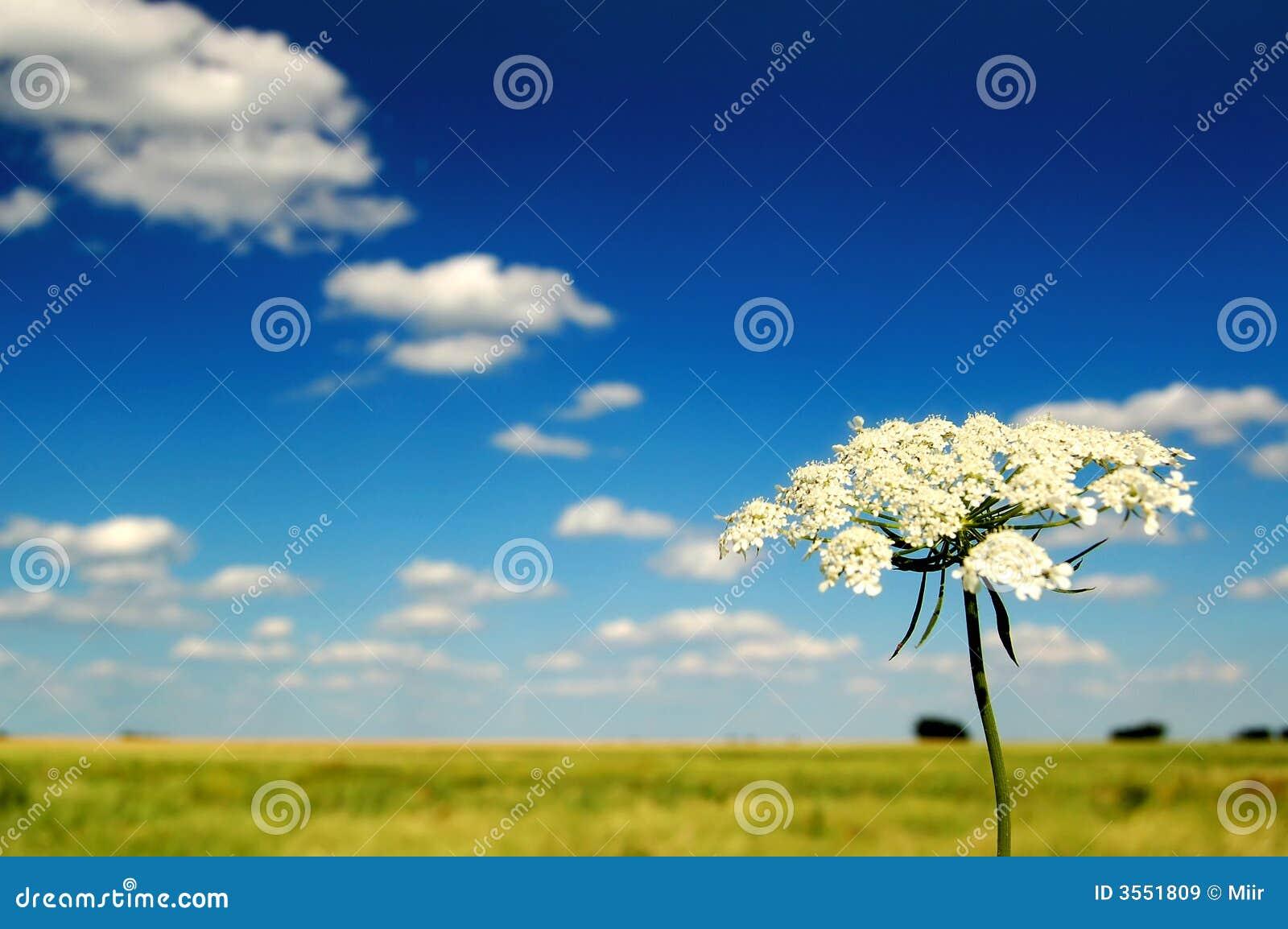 Campo e fiore di estate