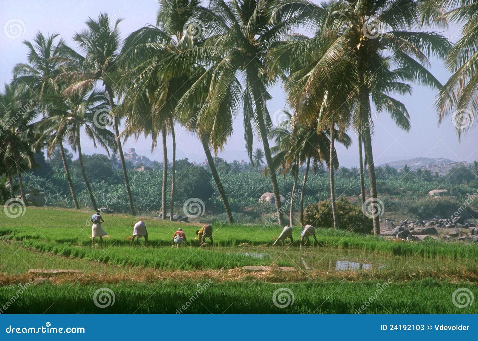 Campo en Hampi, la India del arroz