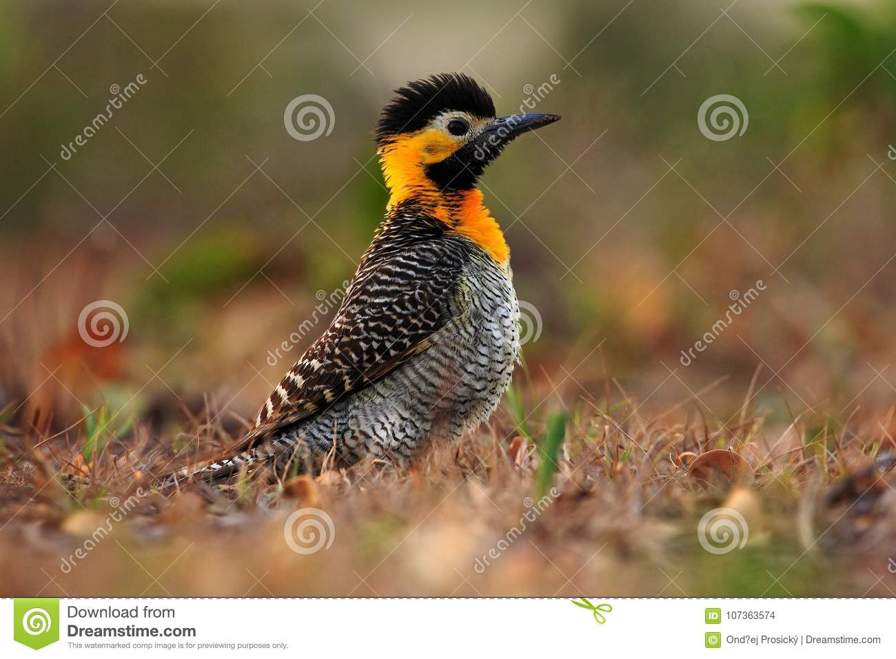 Campo Flicker, Colaptes campestris, exotic woodpecker in the nature habitat, bird sitting in the grass, yellow and black head, Mat