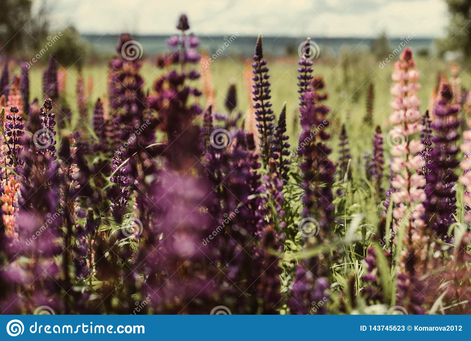 Campo floreciente de lupines púrpuras y rosados
