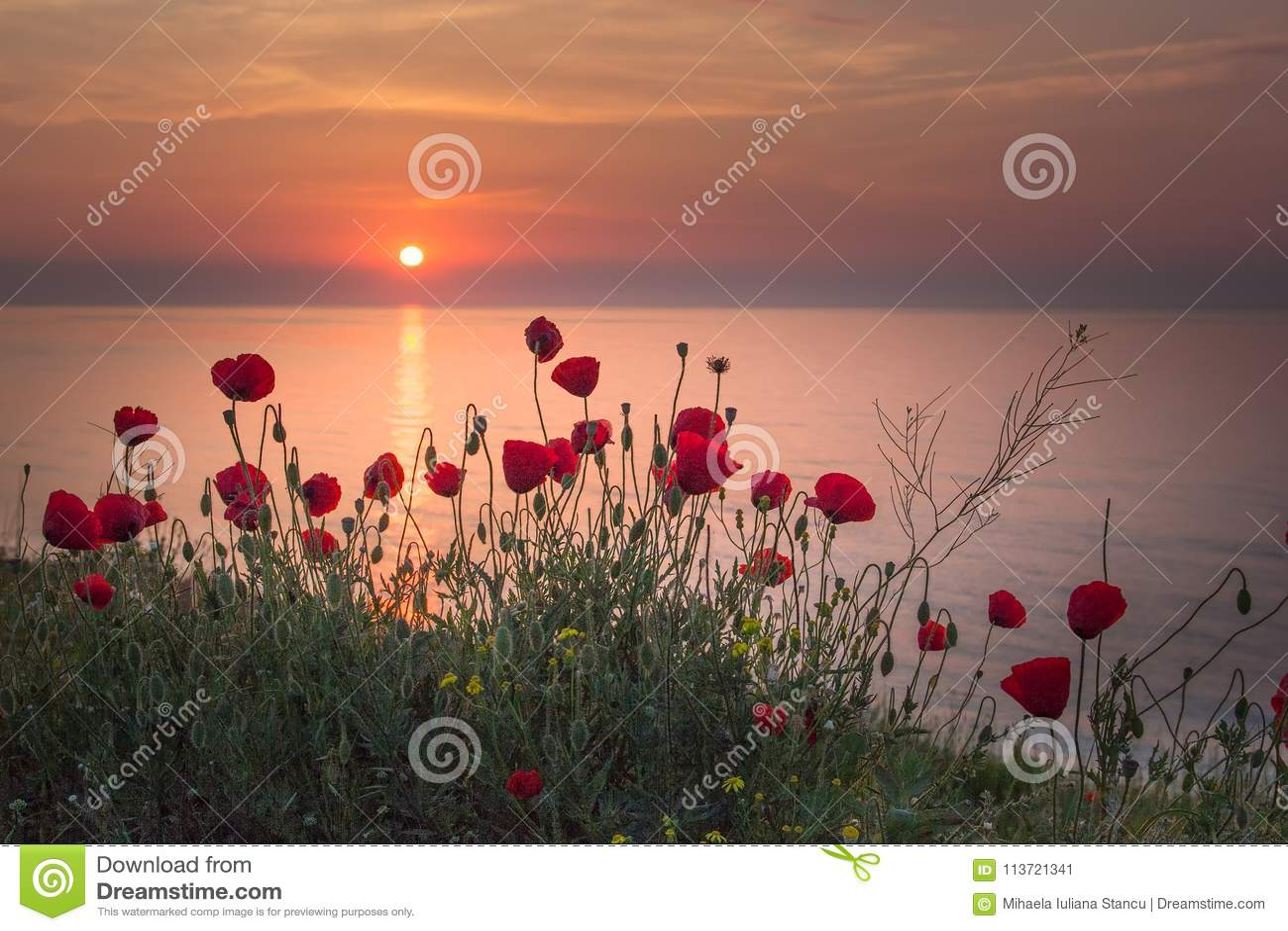 Campo hermoso de amapolas rojas en la salida del sol cerca del mar
