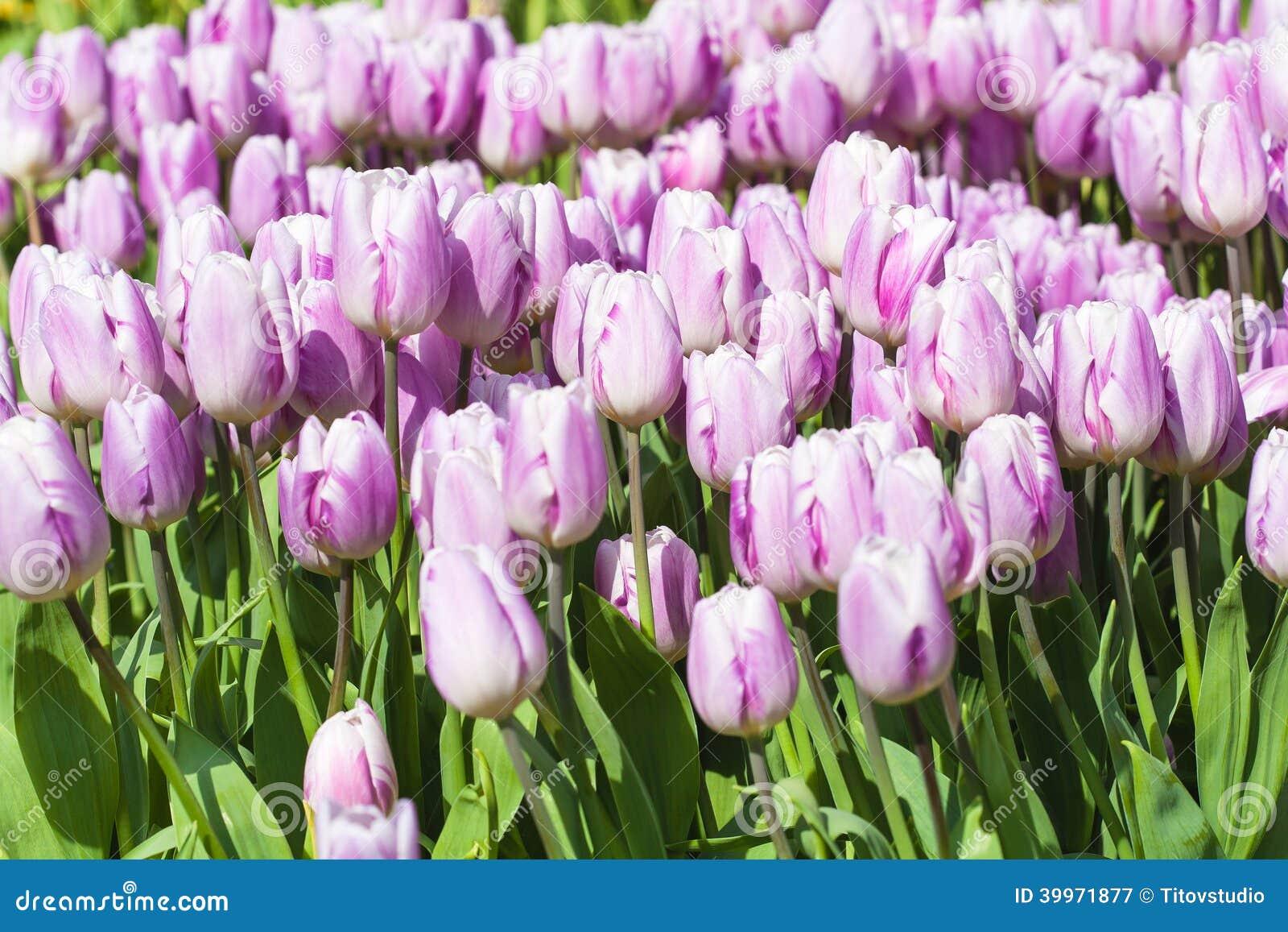 Campo hermoso de los tulipanes en tiempo de primavera