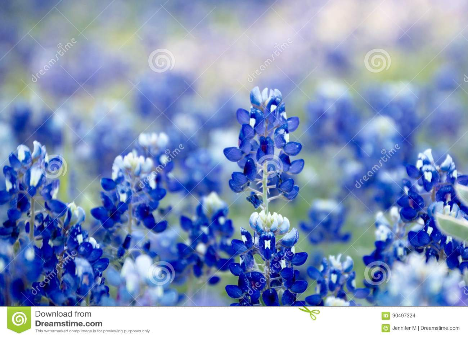 Campo hermoso del bluebonnet
