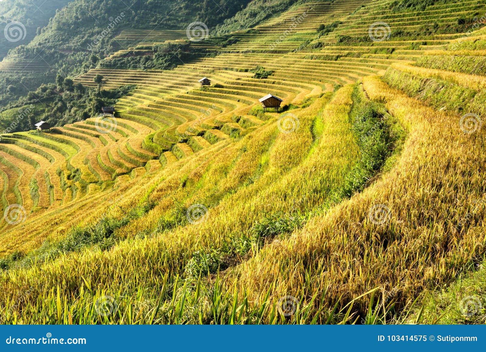 Campo Hermoso Vietnamita Del Arroz Del Paisaje En Terraza