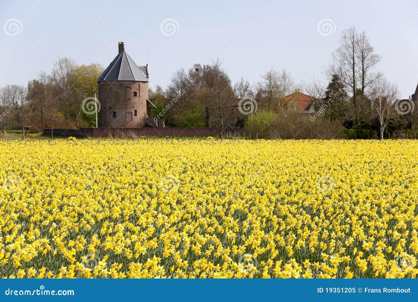 Campo holandês dos daffodils