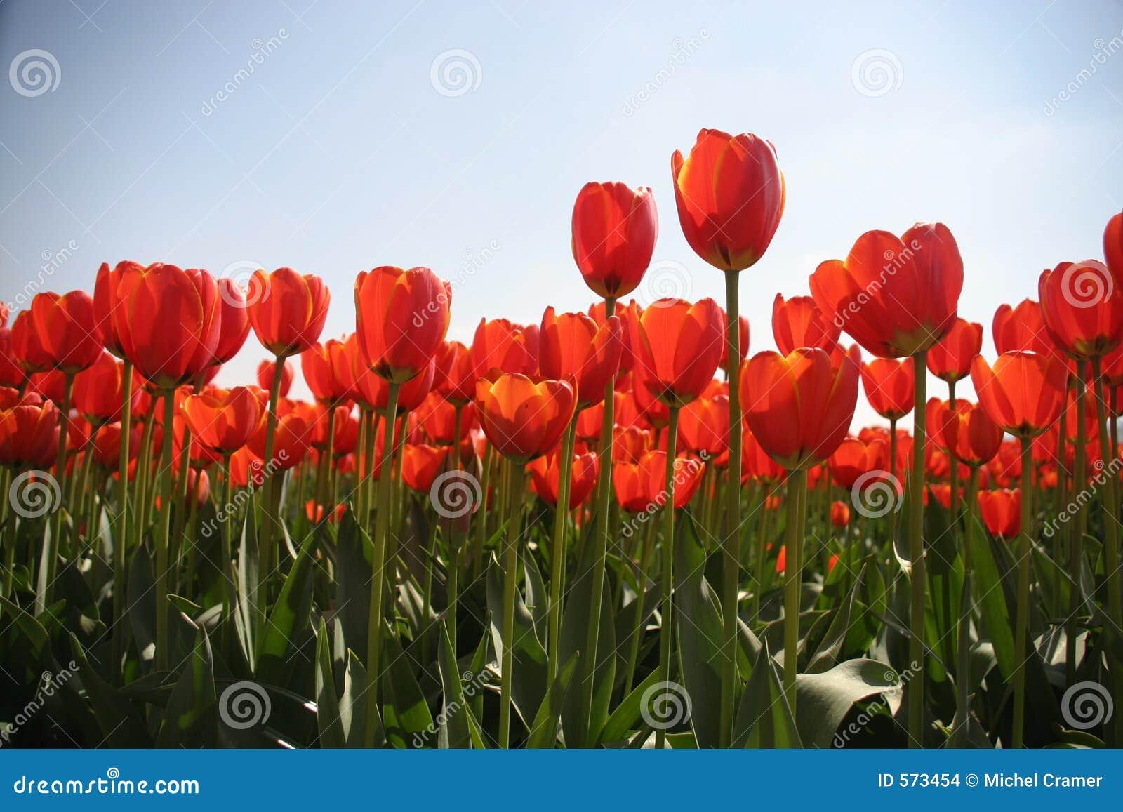 Campo olandese del tulipano immagini stock immagine 573454 for Tulipani arancioni