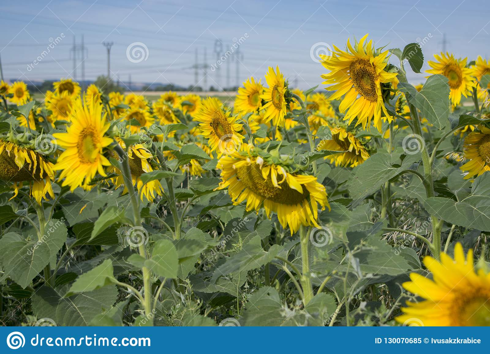 Campo in pieno dei fiori in fioritura, angiosperme gialle luminose, gruppo di helianthus annuus di girasoli