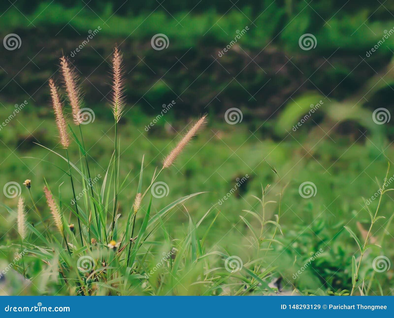Campo salvaje de la hierba en la puesta del sol, rayos suaves del sol, naturaleza de tono caliente del verano