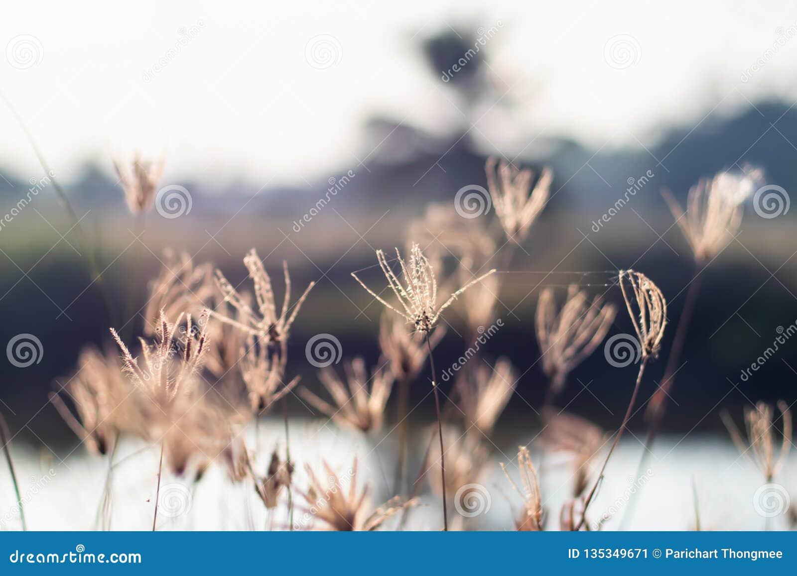 Campo salvaje de la hierba en la puesta del sol, rayos suaves del sol, tono caliente, fondo de la naturaleza de la falta de defin