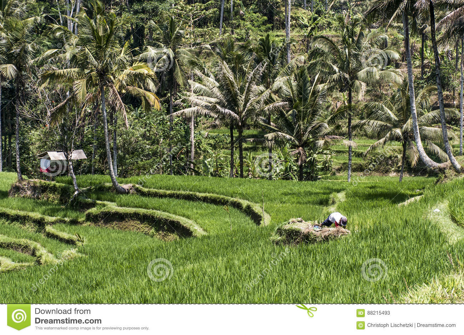 Campo Ubud Del Verde De La Terraza Del Arroz De Bali