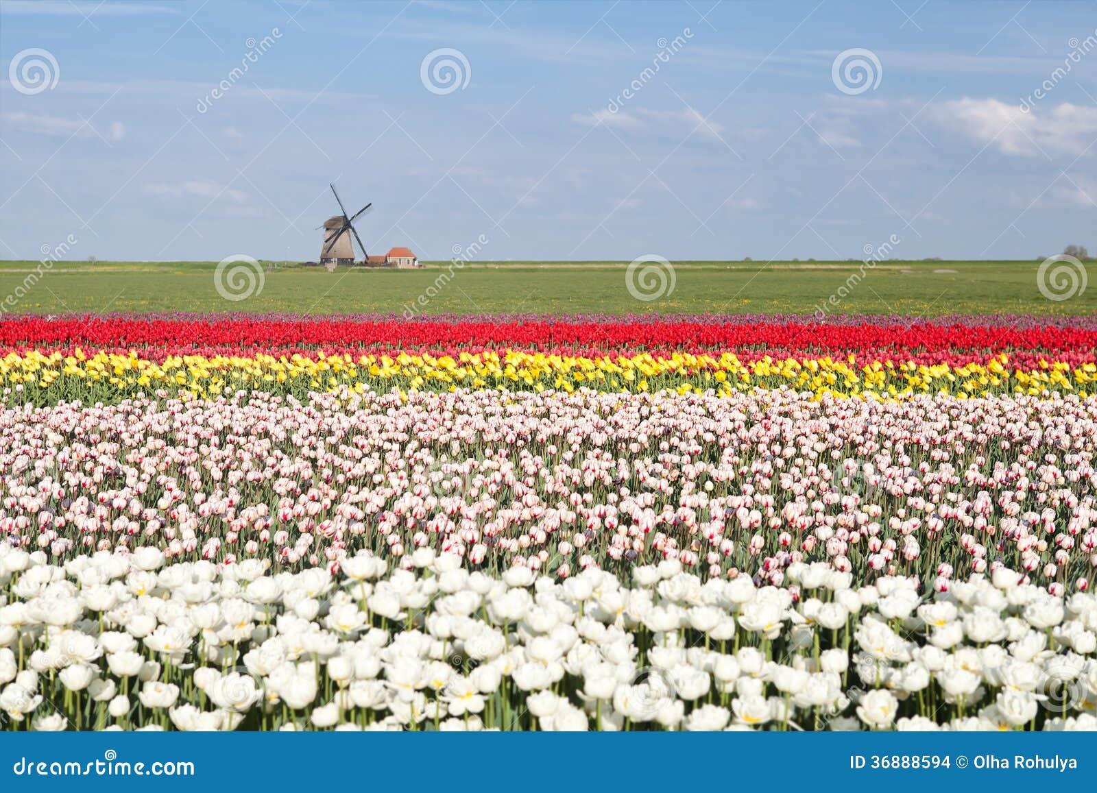 Download Campo Variopinto Del Tulipano E Mulino A Vento Dell'olandese In Primavera Fotografia Stock - Immagine di stagione, fioritura: 36888594