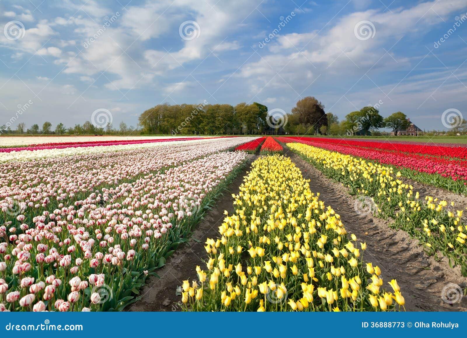 Download Campo Variopinto Del Tulipano In Olanda Immagine Stock - Immagine di rosso, north: 36888773
