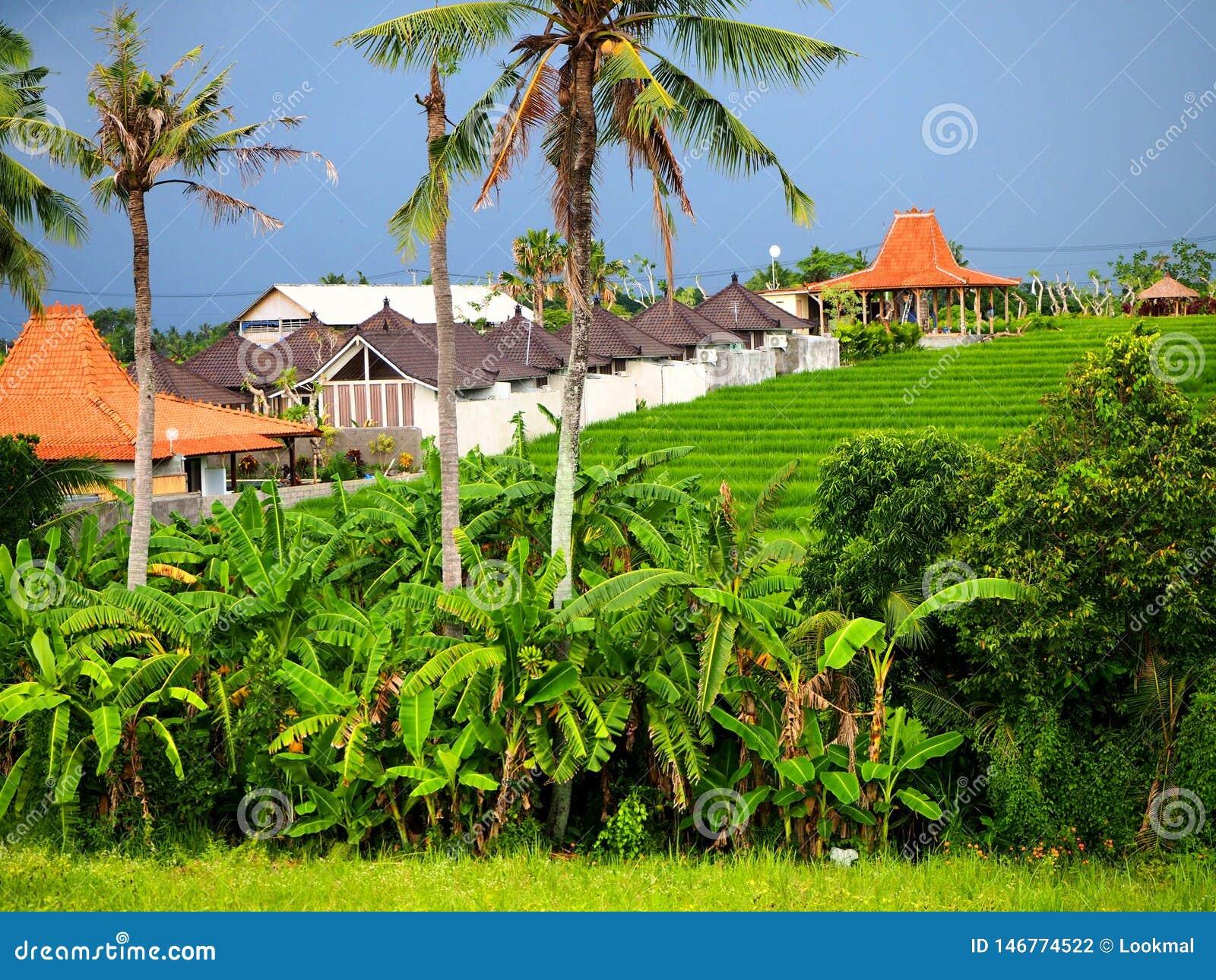 Campo verde autêntico do arroz em Canggu em Bali em um dia nublado