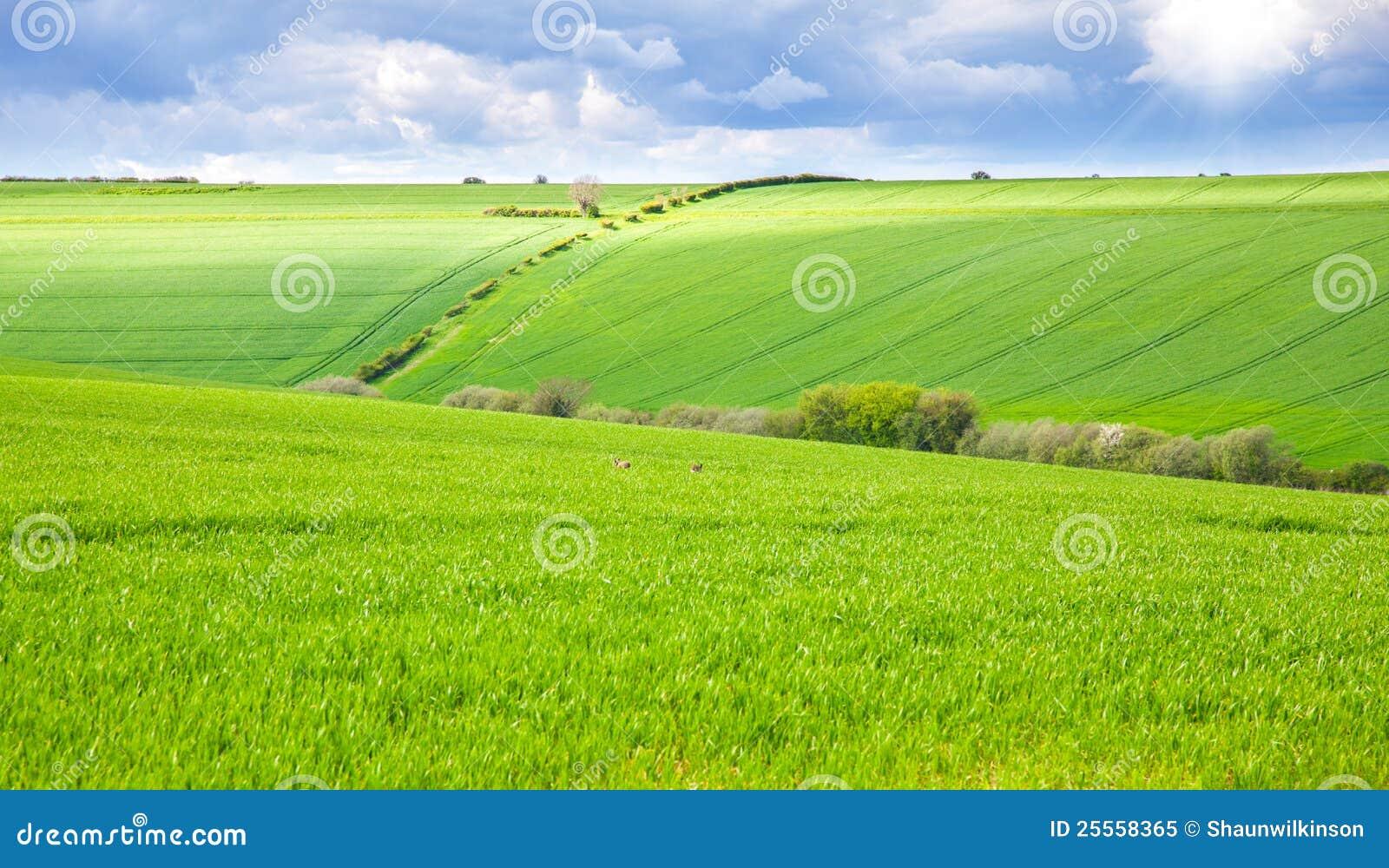 Campo verde con i conigli