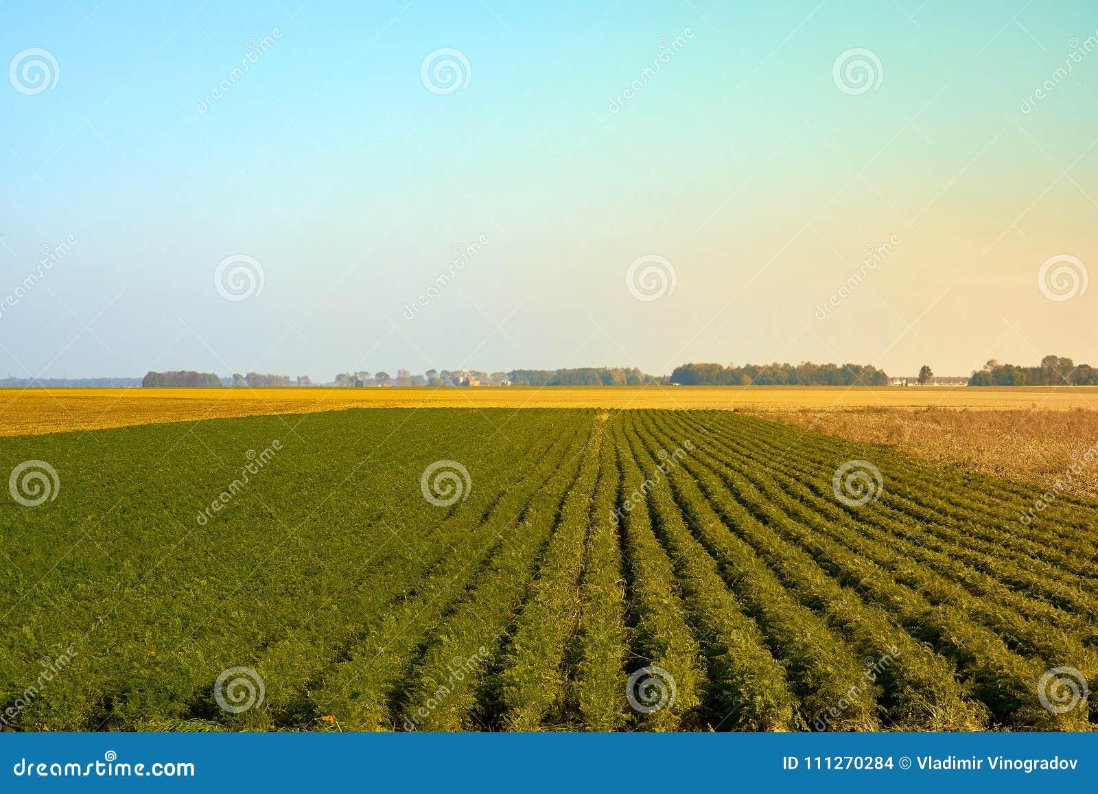 Campo verde di agricoltura con cielo blu Natura rurale nella terra dell azienda agricola Paglia sul prato Raccolto dorato giallo