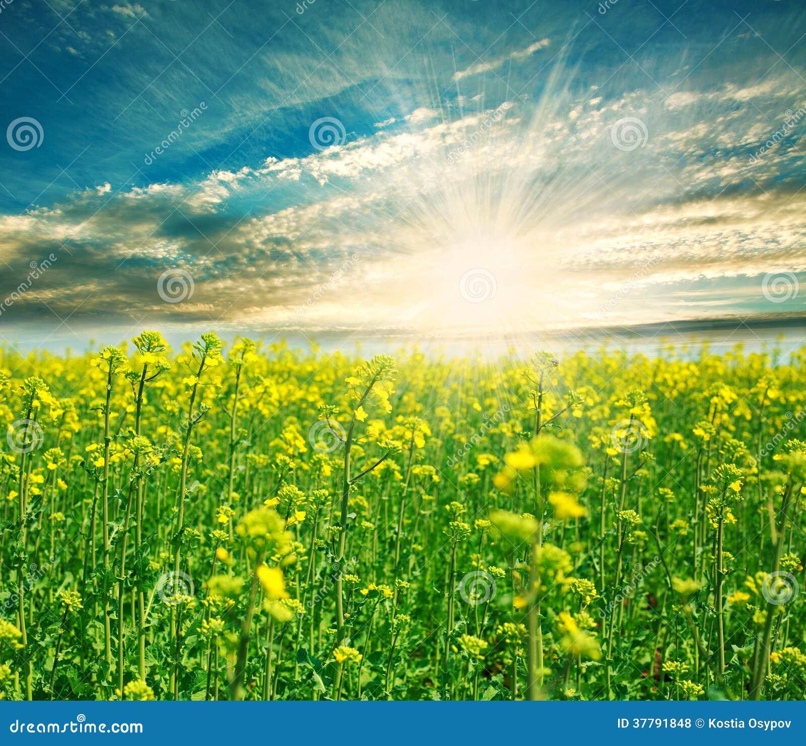 Campo verde floreciente en un fondo del sol naciente fotos for Fondo del sol