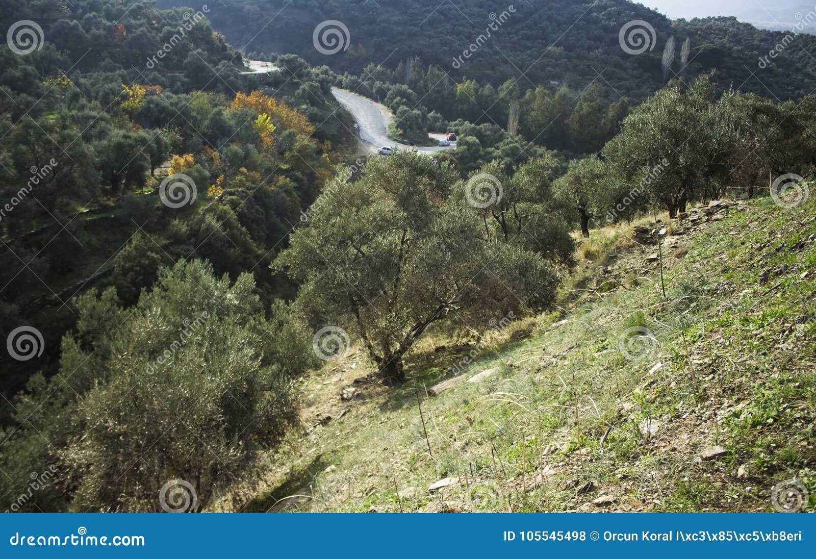 Campo verde oliva sulla collina