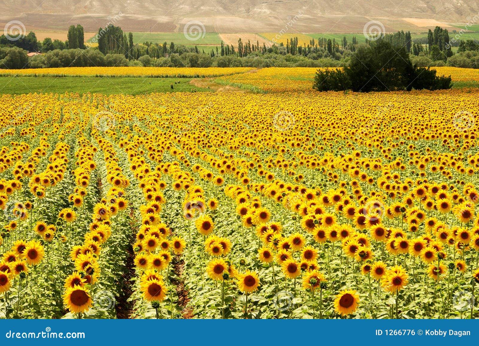 Campos amarillos