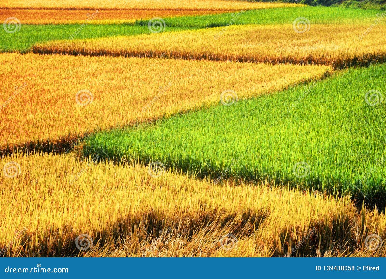 Campos cênicos do arroz em fases diferentes da maturidade