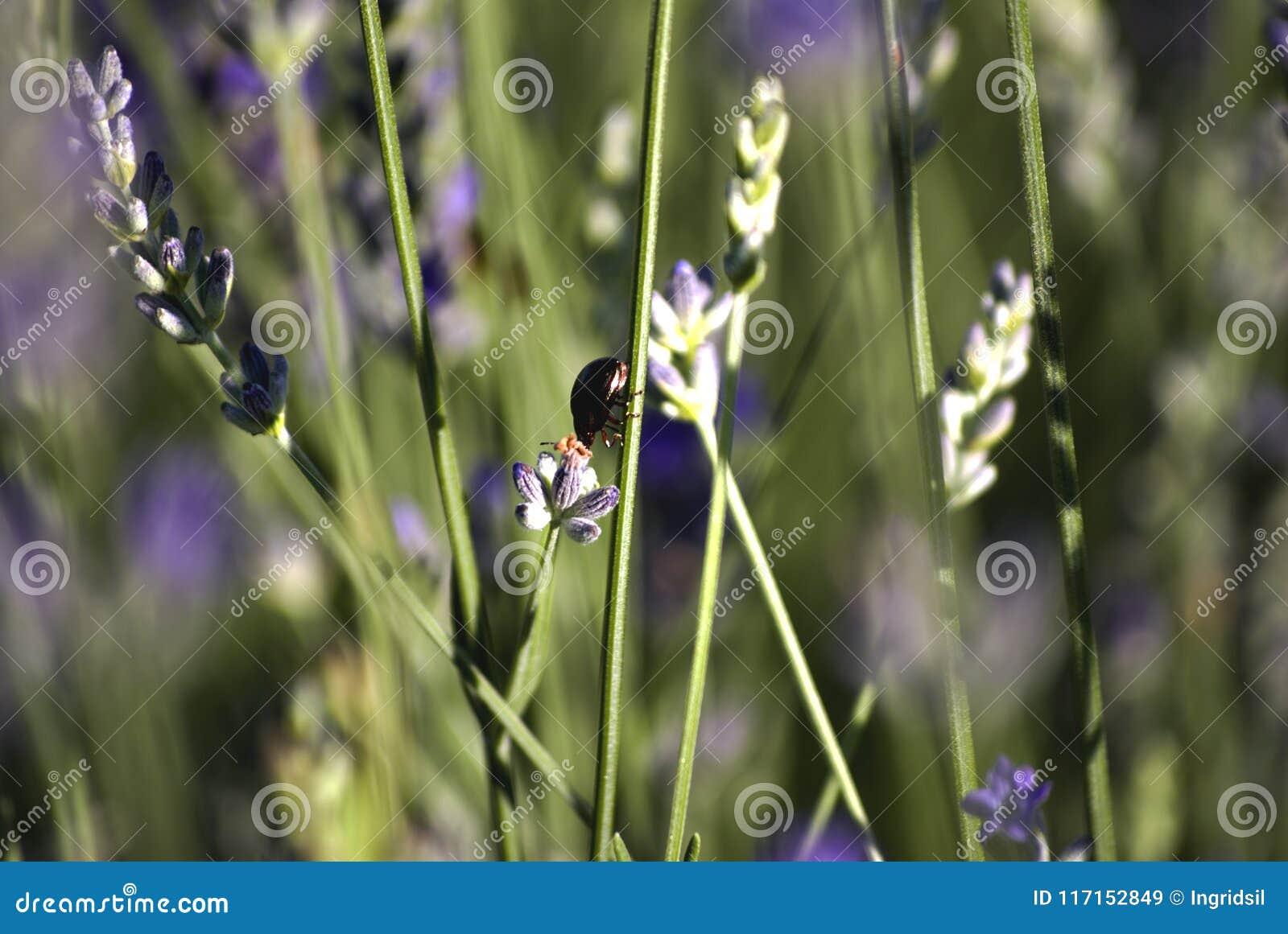 Campos con filas de la lavanda, con un insecto sobre una flor Bokeh Primer