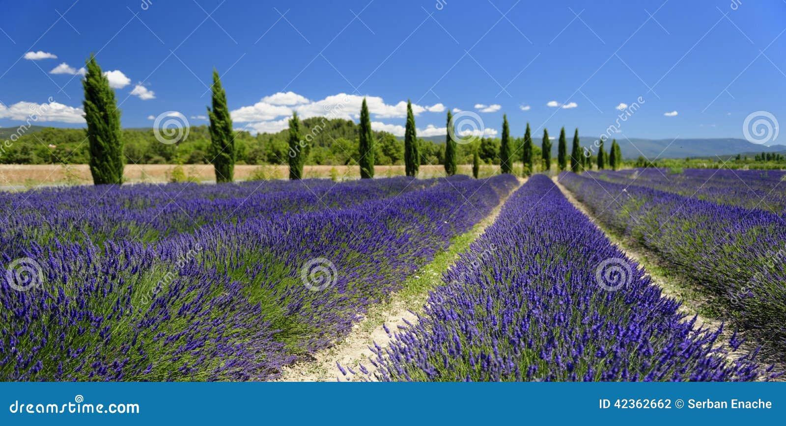 Campos da alfazema em Provence