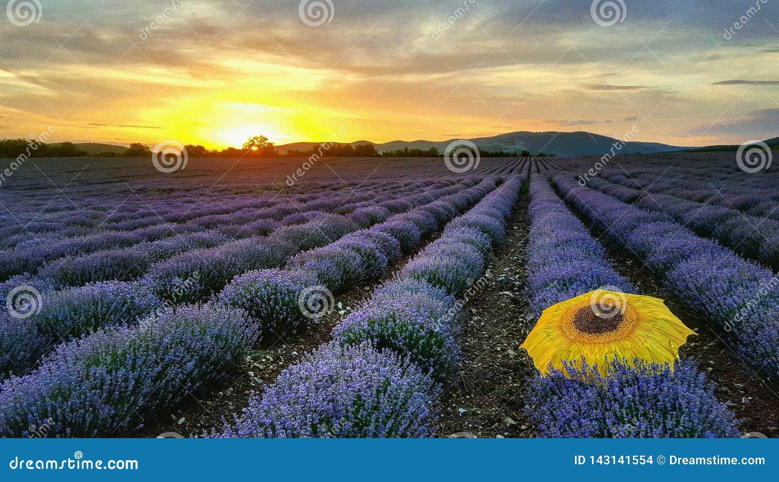 Campos da alfazema pelo por do sol