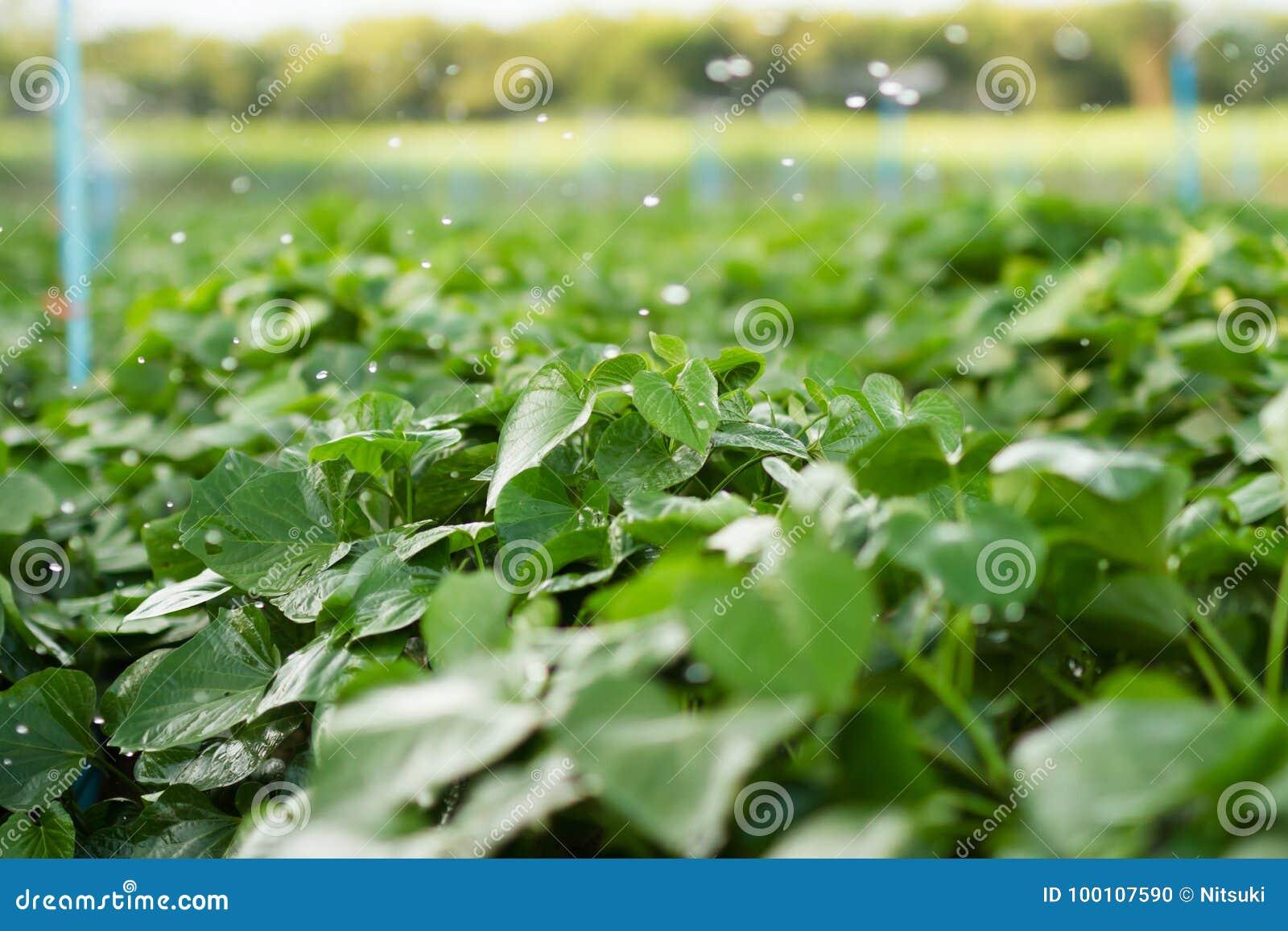 Campos da batata doce