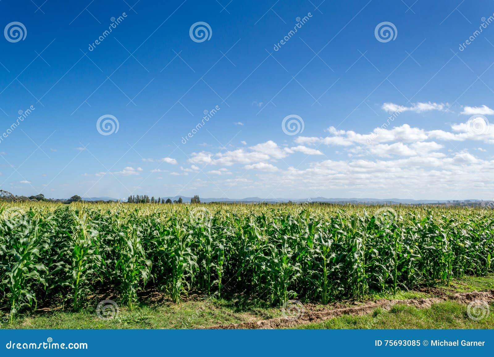 Campos da colheita, céu azul do espaço livre