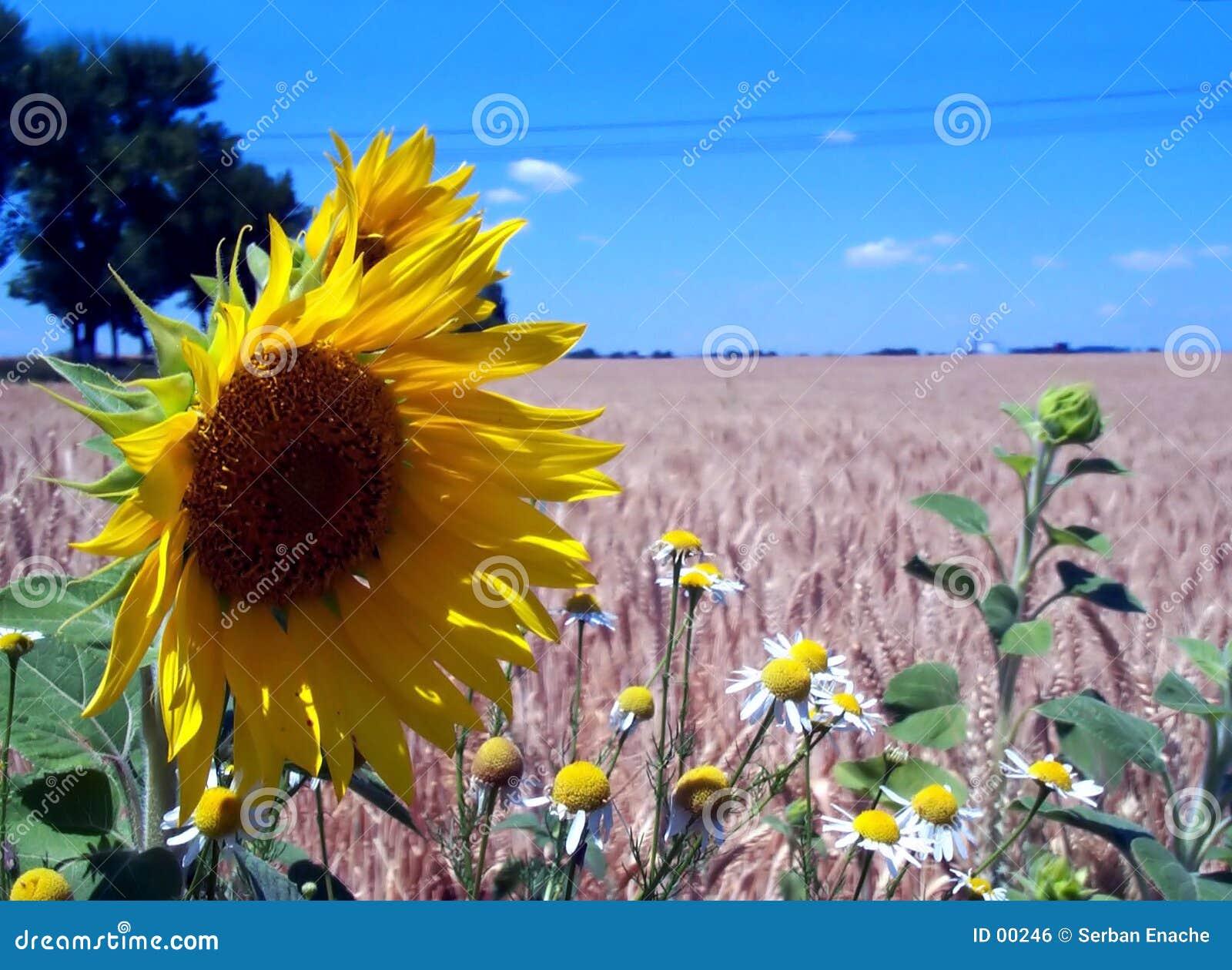 Campos de céu azul, de girassol e de trigo