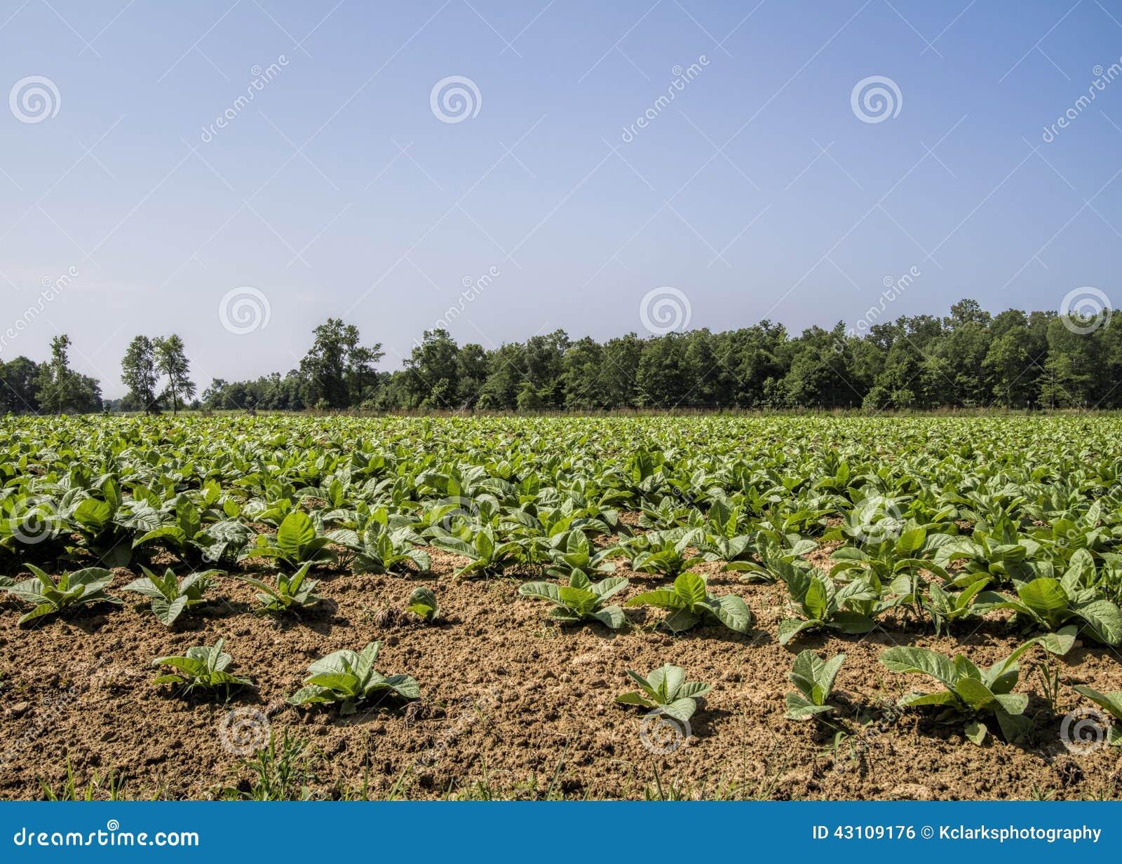 Campos de cigarro crescidos Amish