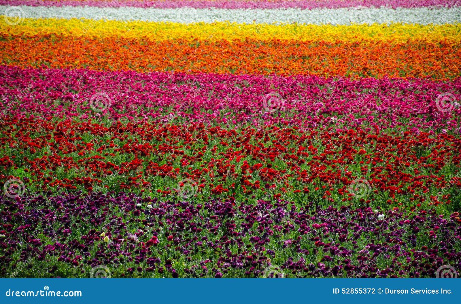 Campos de flor