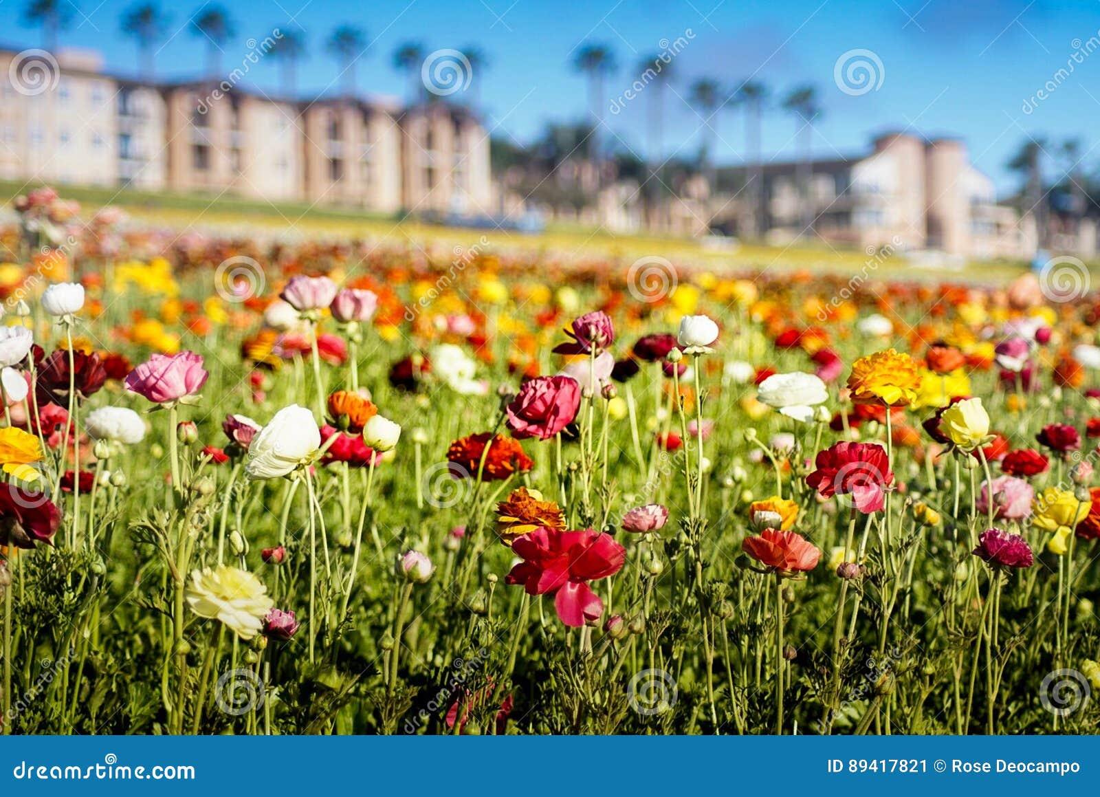 Campos de flor em Carlsbad
