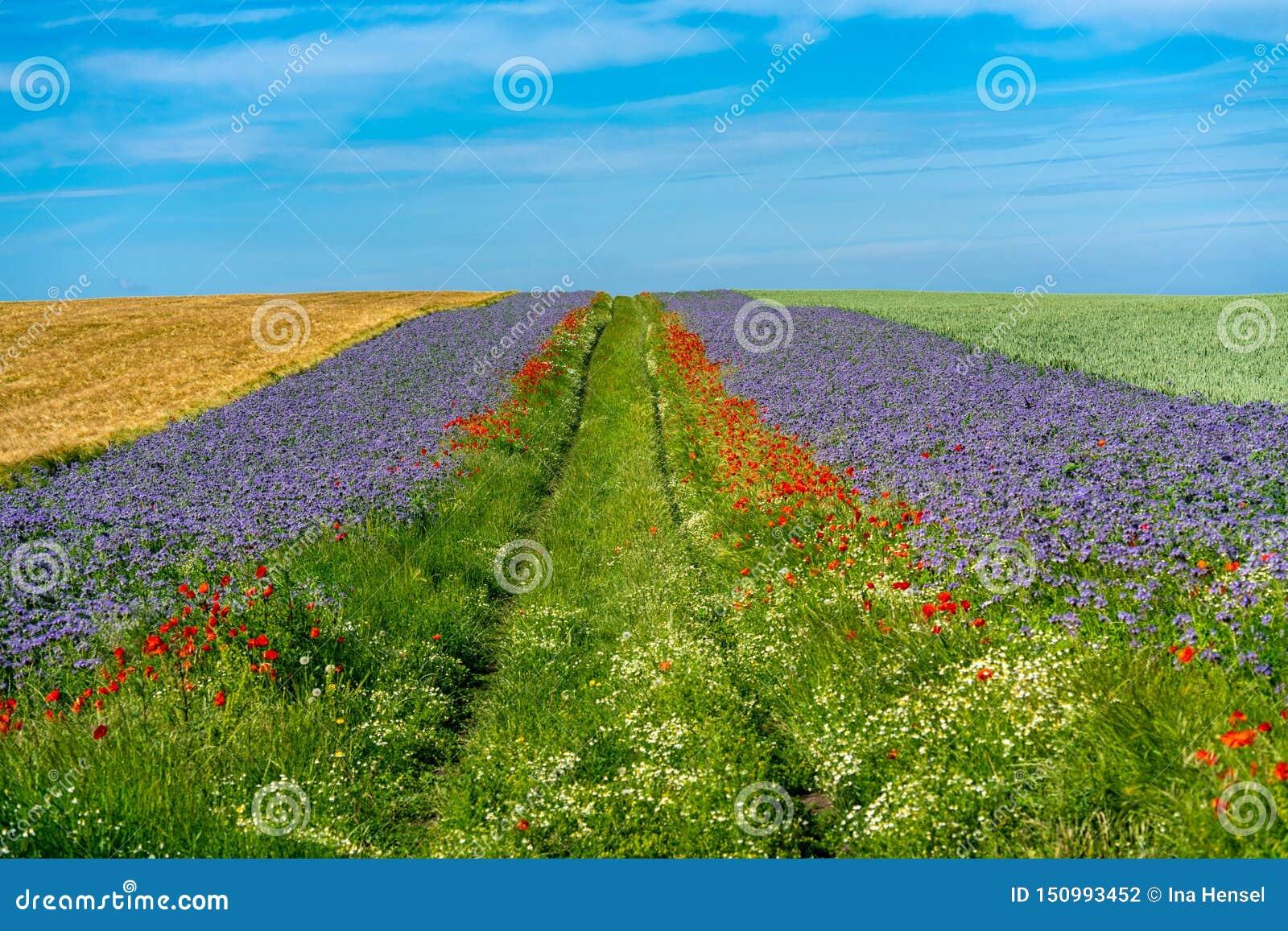 Campos de grão cênicos com beiras de flores azuis e vermelhas