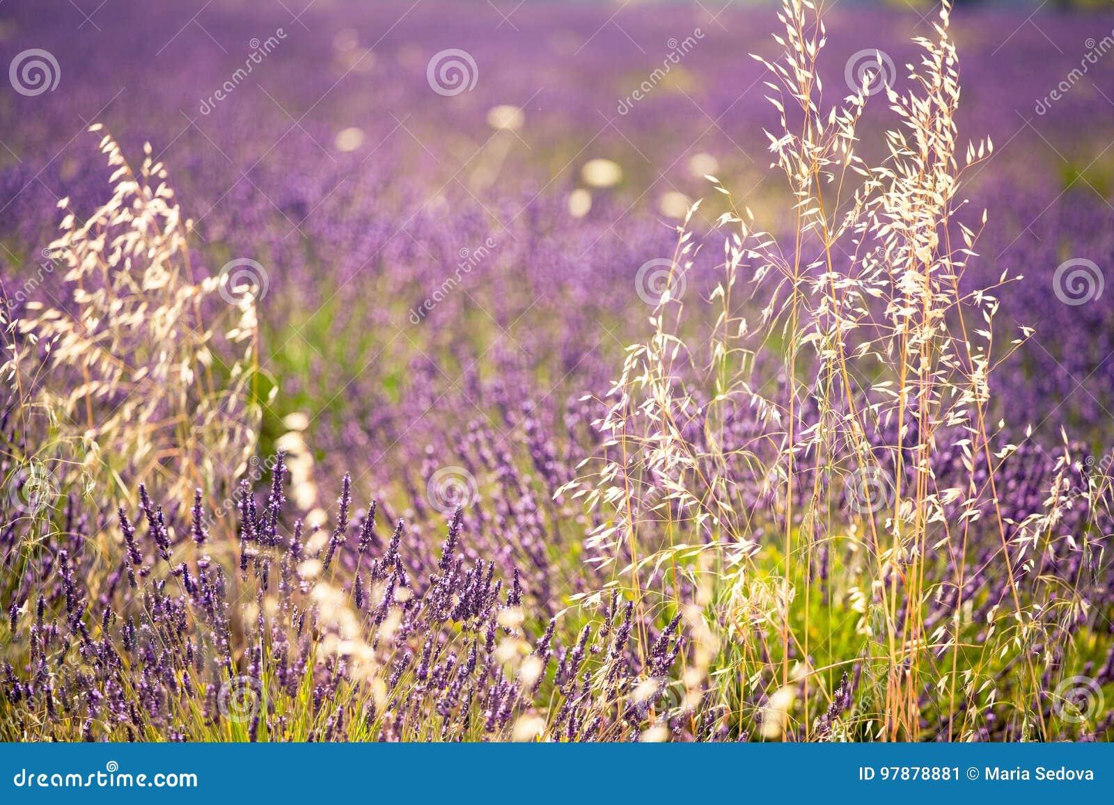 Campos de la lavanda en la floración
