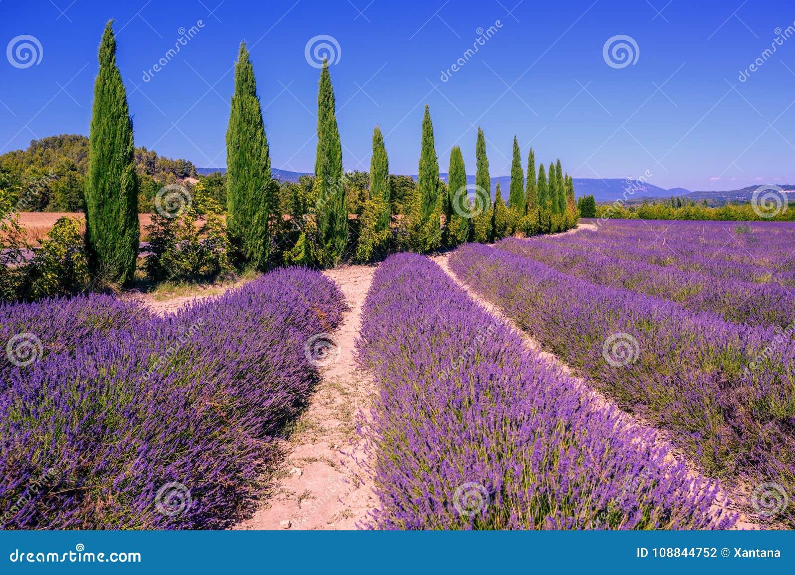 Campos de la lavanda y árboles de ciprés en Provence, Francia