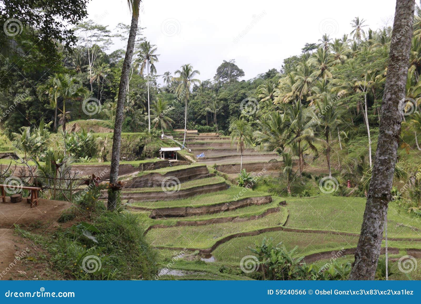 Campos de la terraza del arroz