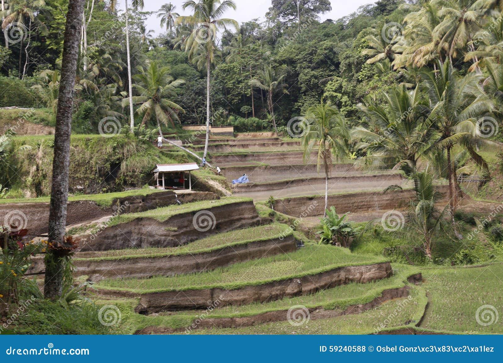 Download Campos De La Terraza Del Arroz Foto de archivo - Imagen de ciudad, tierra: 59240588