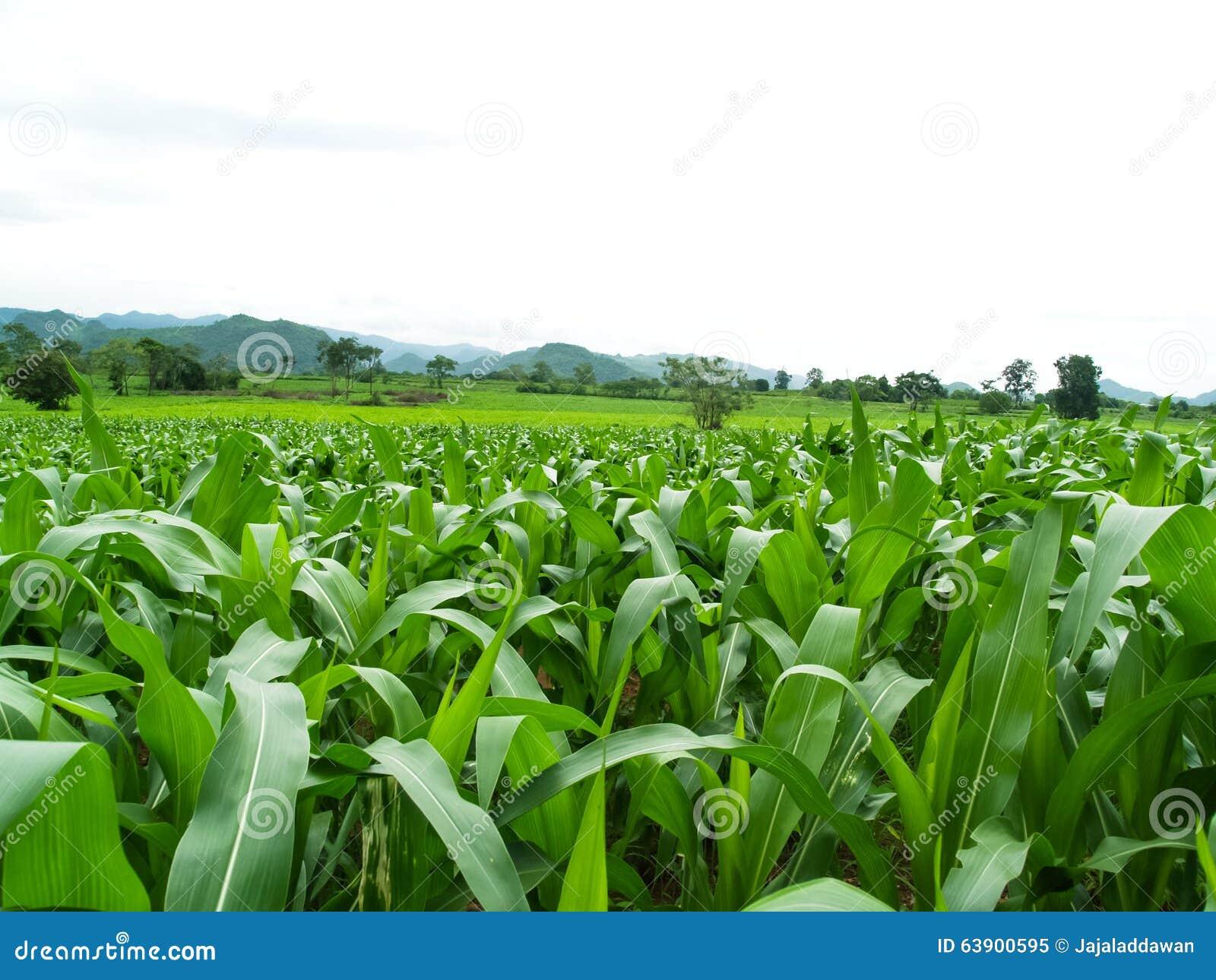 Campos de milho verde