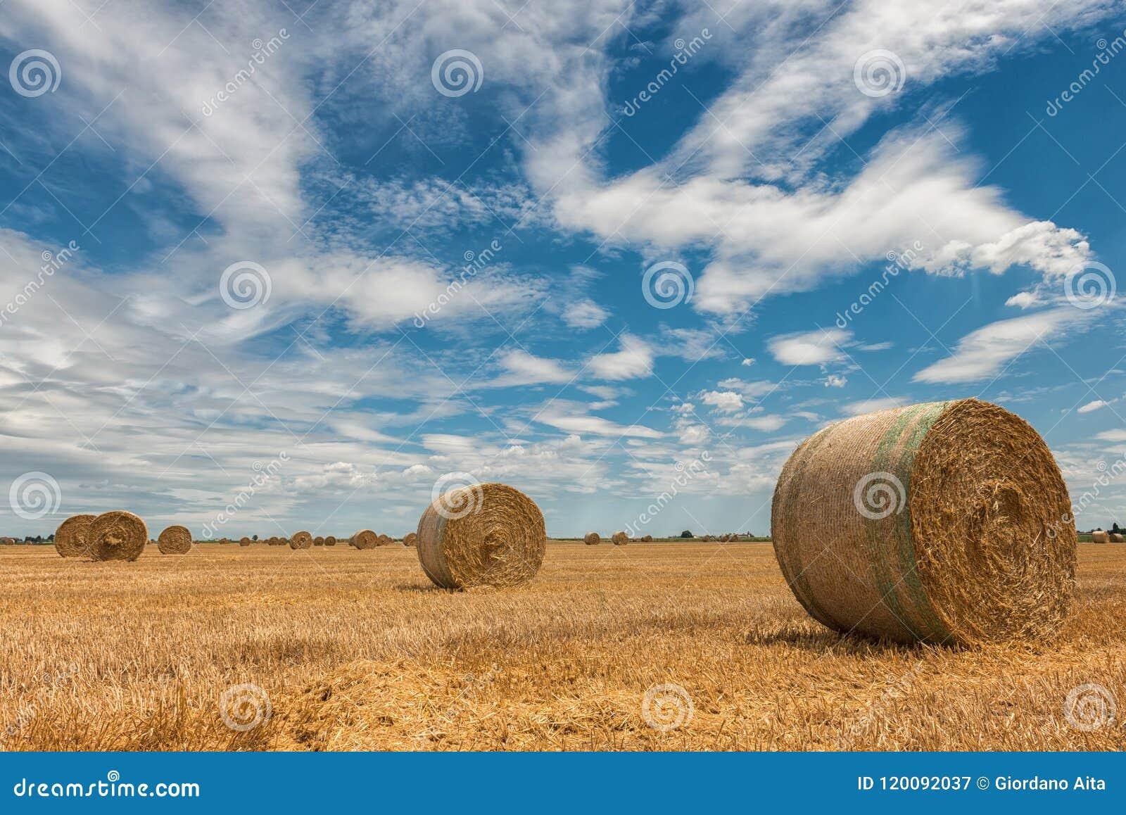 Campos de trigo colhidos