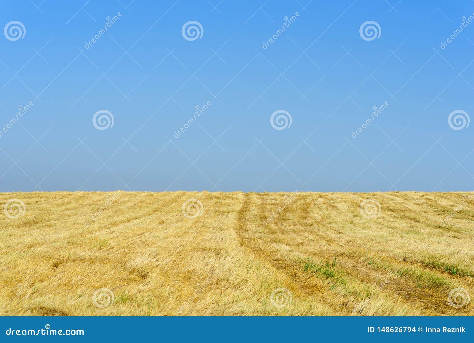 Campos de trigo del oro despu?s de la cosecha y del cielo azul en d?a soleado