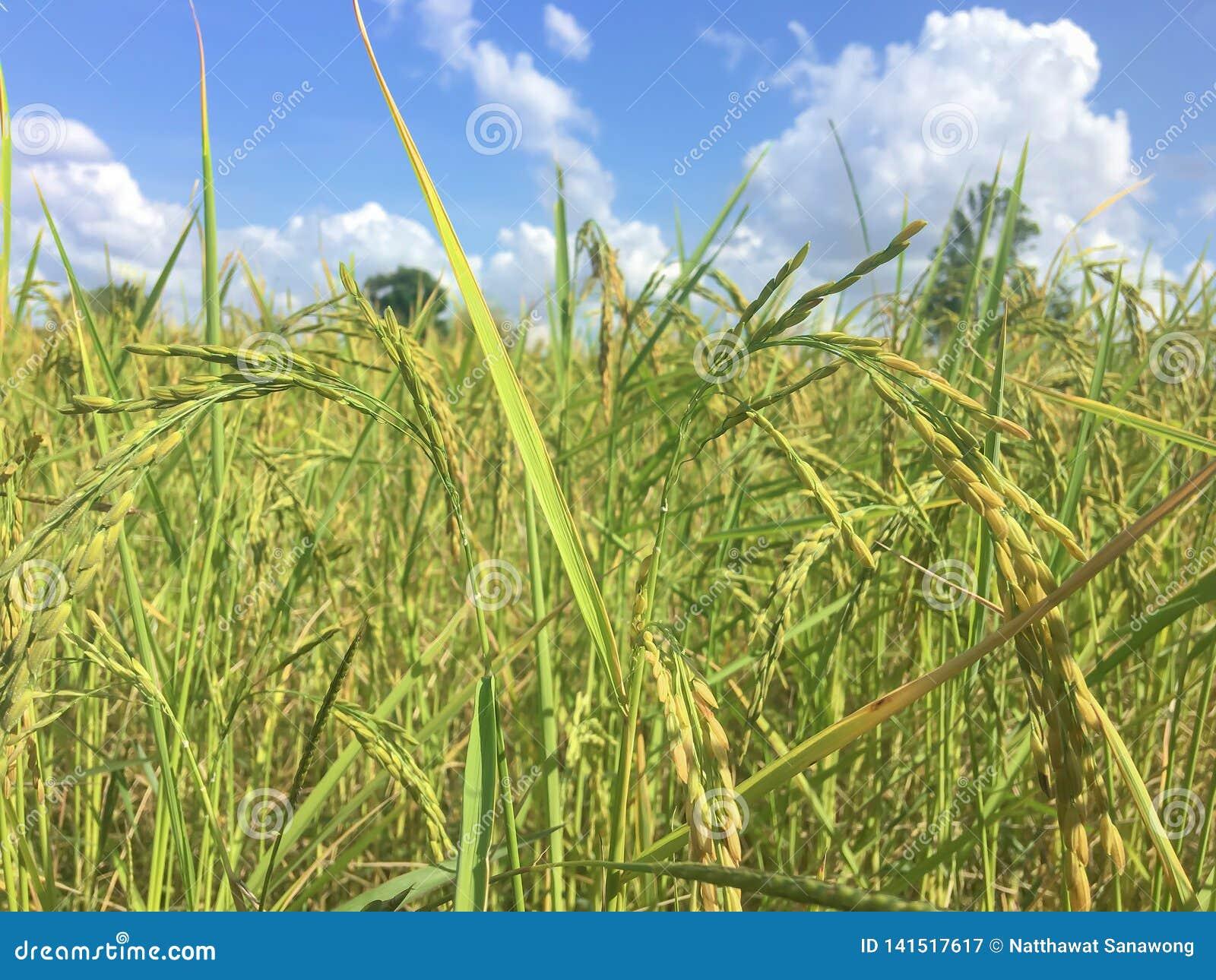 Campos del arroz en un fondo del cielo azul
