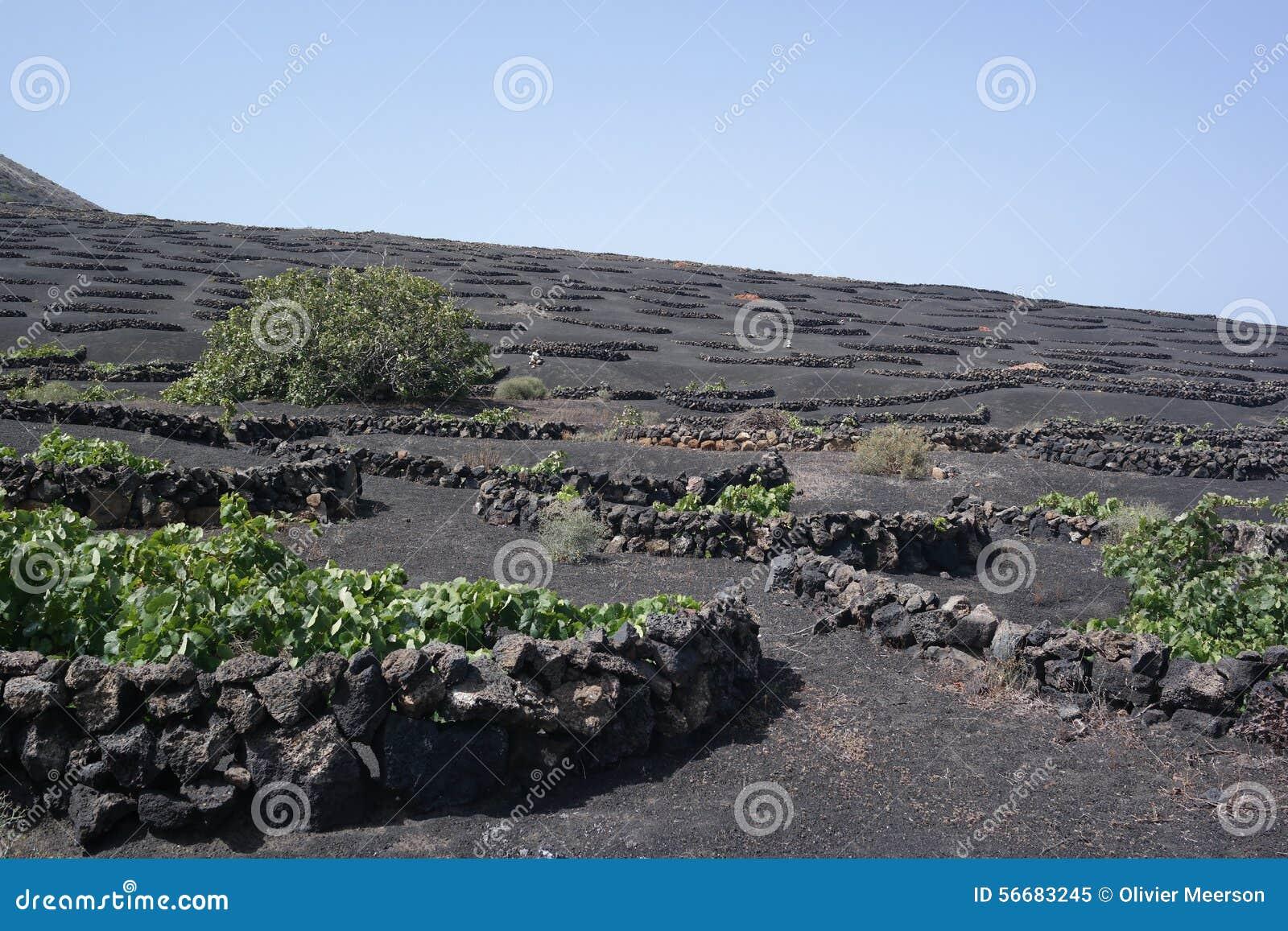 Campos del grapewine de Yaisa, Lanzarote, islas de Canaria