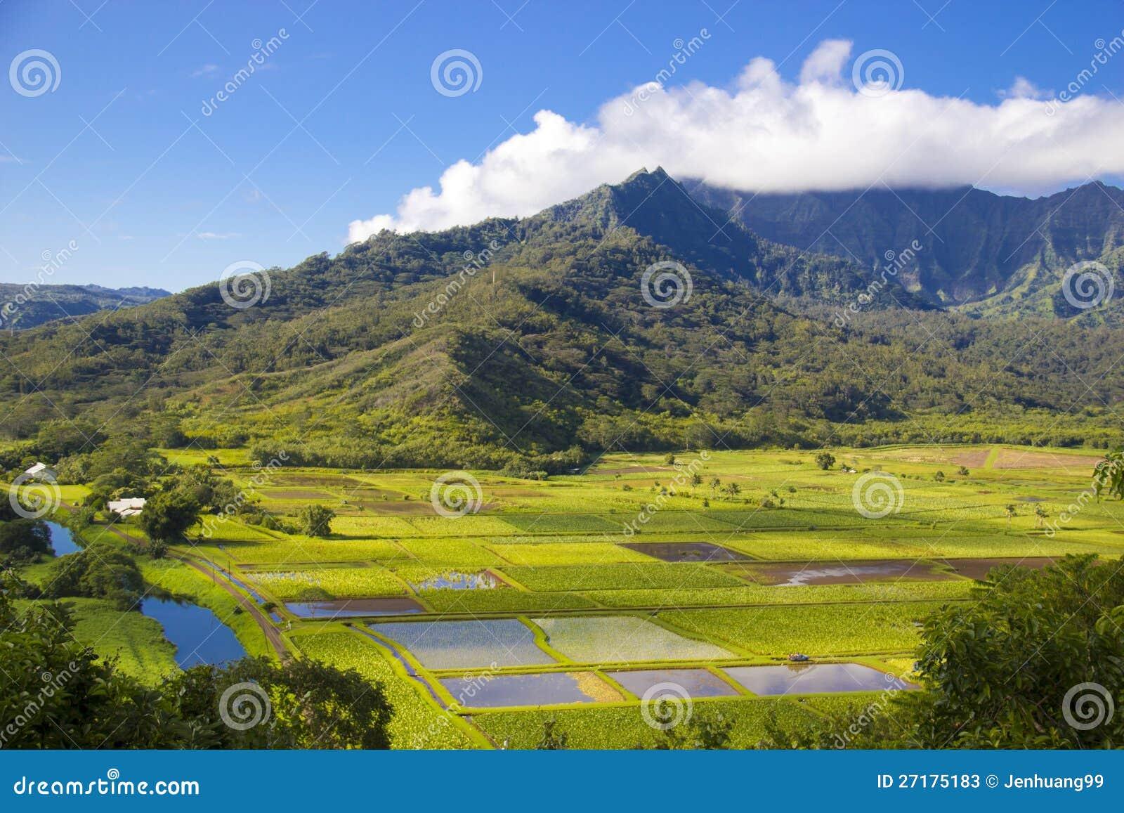 Campos del taro en el valle de Hanalei, Kauai, Hawaii