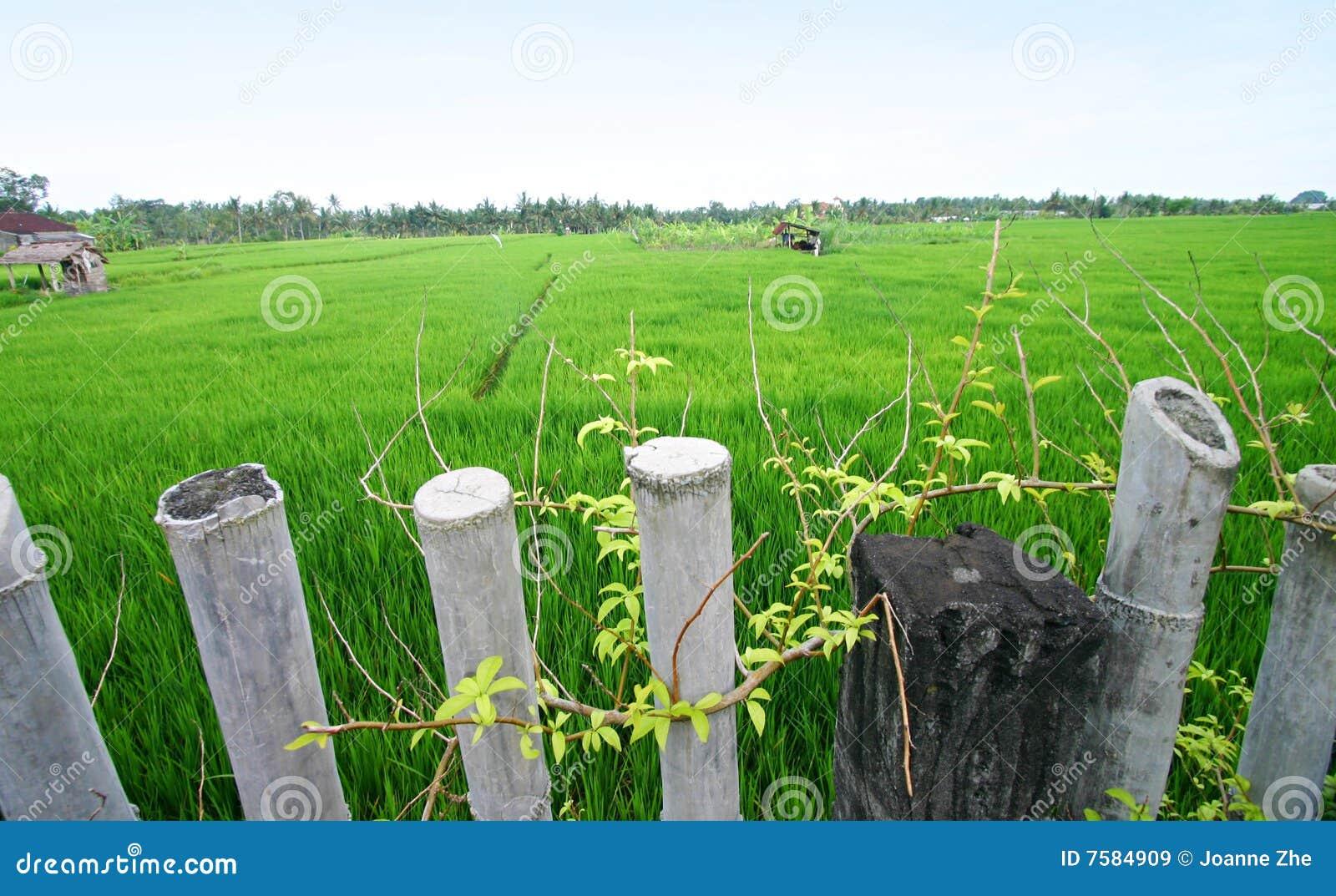 Campos do arroz, Bali