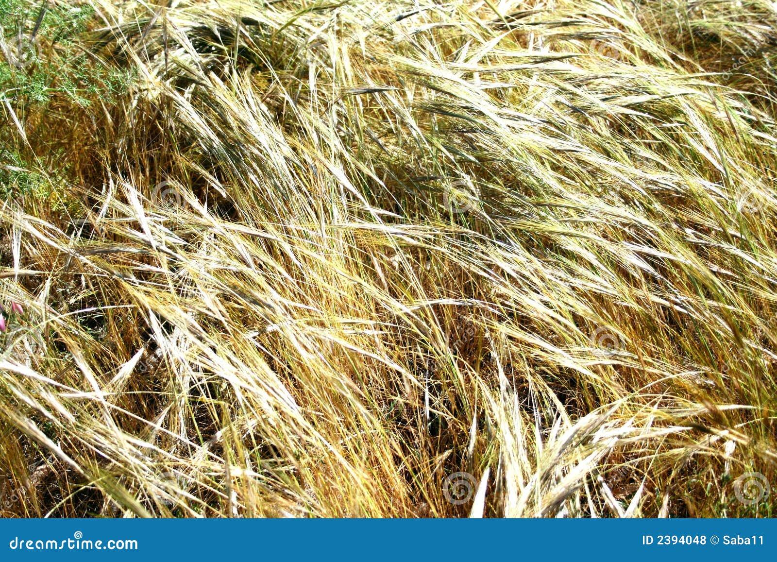 Campos dourados no vento