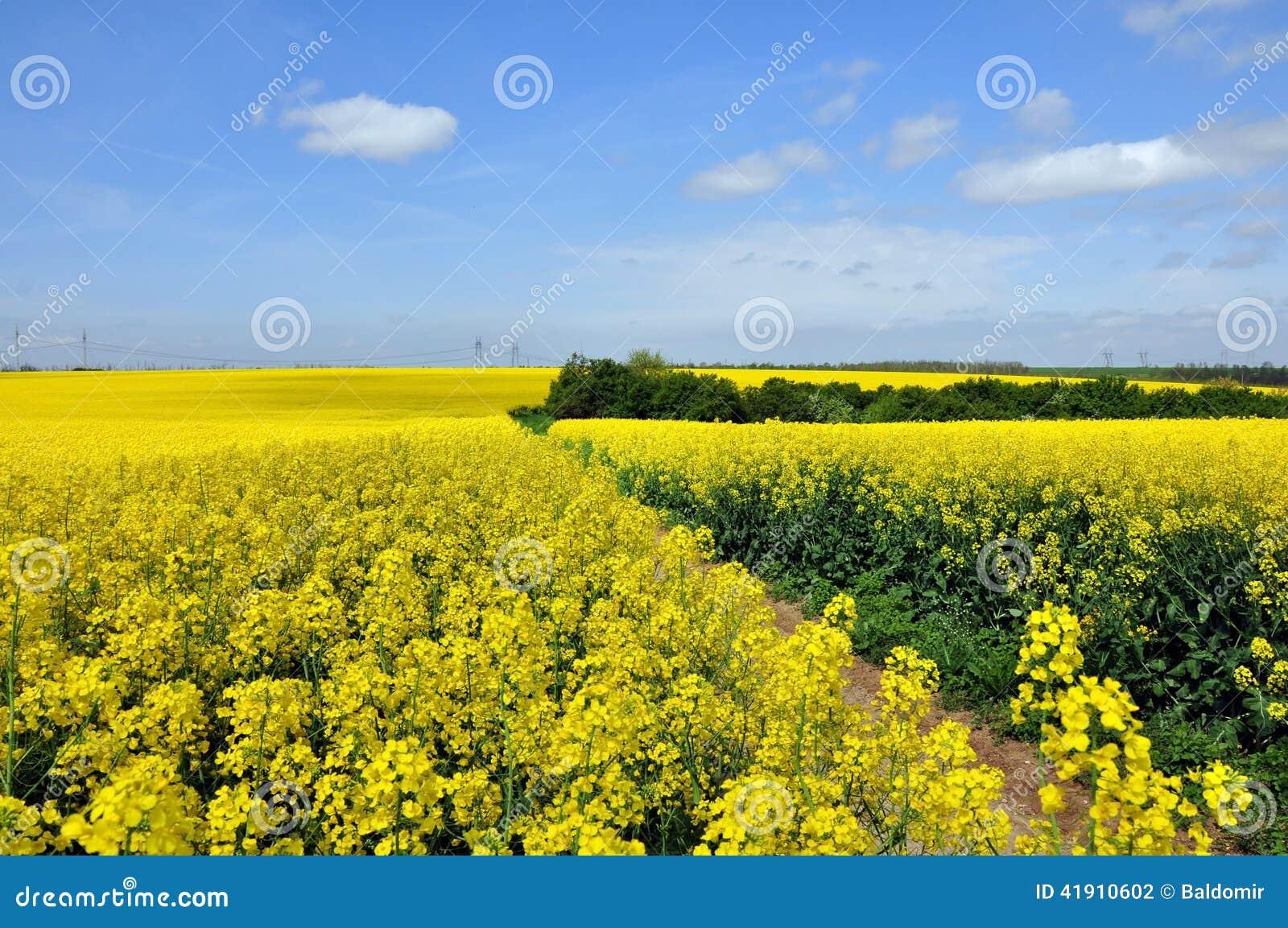 Campos florecientes del canola